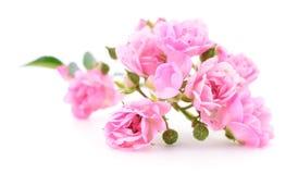 Mooie roze rozen Stock Foto