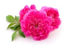 Mooie roze rozen Royalty-vrije Stock Foto's