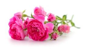 Mooie roze rozen Royalty-vrije Stock Afbeeldingen