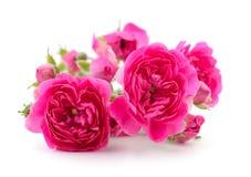 Mooie roze rozen Royalty-vrije Stock Afbeelding
