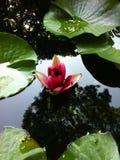 Mooie roze sering royalty-vrije stock foto