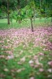 Mooie roze trompetbloem die, selectieve nadruk bloeien Stock Afbeeldingen
