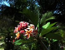Mooie roze tropische bloemen van Tailand stock afbeelding