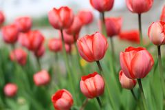 Mooie roze tulpen Royalty-vrije Stock Foto's