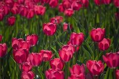 Mooie roze tulpen Royalty-vrije Stock Foto