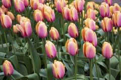 Mooie roze tulpen in het park royalty-vrije stock fotografie