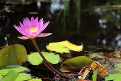 Mooie Roze Waterlelie 3 Royalty-vrije Stock Foto's