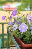 Mooie roze, wit, purper, petuniabloemen in potten stock afbeelding