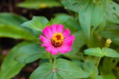 Mooie roze Zinnia royalty-vrije stock afbeeldingen