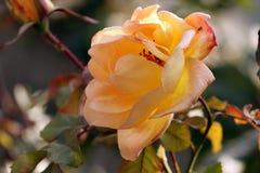 Mooie rozeachtig nam in een tuin toe royalty-vrije stock afbeelding