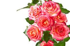 Mooie rozen. Stock Afbeelding