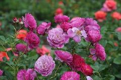 Mooie Rozen bij bloei in een lokale Roze tuin in Mesa, Arizona Royalty-vrije Stock Fotografie