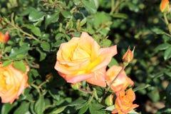 Mooie rozen in de tuin Stock Afbeelding