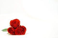 Mooie rozen op een witte glanzende achtergrond Stock Afbeeldingen
