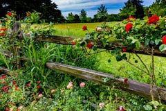 Mooie Rozen op Oud Texas Wooden Fence Stock Foto's