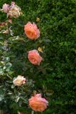 Mooie rozen in tuin royalty-vrije stock foto