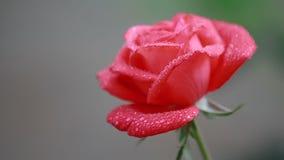 Mooie rozerode bloemen met waterdalingen in de tuin Nam in de regendauw toe, sluiten omhoog, dynamische scène, gestemde video stock video