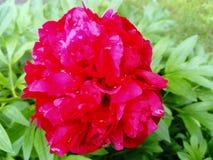 Mooie rozerode pioenbloem stock afbeeldingen