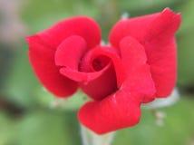 mooie rozerode redroseaard royalty-vrije stock fotografie