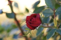 Mooie rozerood royalty-vrije stock afbeelding