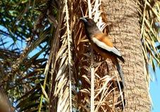 Mooie rufous treepievogel stock foto