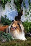 Mooie Ruwe Collie Royalty-vrije Stock Fotografie