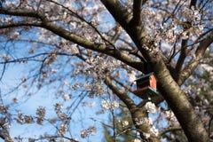 Mooie Sakura in Canada Stock Foto