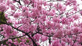 Mooie Sakura, Cherry Blossom-bloem in lentetijd stock video