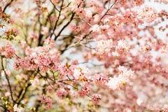 Mooie sakura of kersenbloesem met zachte nadruk Blauwe hemelachtergrond Stock Afbeeldingen