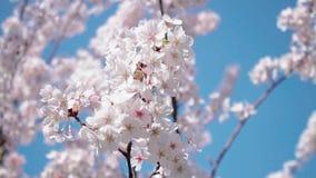 Mooie sakura van de kersenbloesem in de lente stock footage