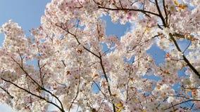 Mooie sakura van de kersenbloesem in de lentetijd over blauwe hemel royalty-vrije stock fotografie