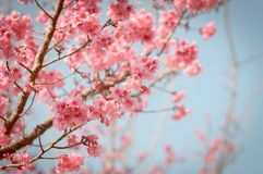 Mooie sakura van de kersenbloesem stock afbeeldingen