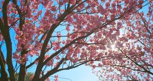 Mooie sakura van de kersenbloesem in de lentetijd over blauwe hemel stock videobeelden