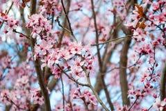 Mooie sakura van de kersenbloesem in de lentetijd in park Stock Afbeeldingen