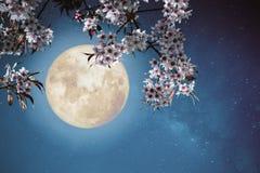 Mooie sakurabloemen van de kersenbloesem in nachthemel met volle maan Royalty-vrije Stock Afbeeldingen