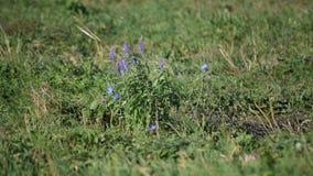 Mooie salie en witlofbloemen op groen gebied stock video