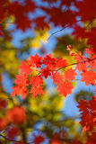 Mooie scharlaken esdoornbladeren in de herfst stock foto