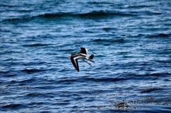 Mooie scholekstervogel die over duidelijk blauw fjordwater vliegen Stock Afbeeldingen