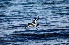 Mooie scholekstervogel die over duidelijk blauw fjordwater vliegen Royalty-vrije Stock Foto