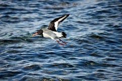Mooie scholekstervogel die over duidelijke blauwe fjord vliegen Royalty-vrije Stock Fotografie