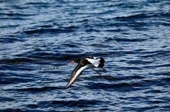 Mooie scholekstervogel die over duidelijke blauwe fjord vliegen Stock Fotografie