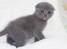 Mooie Schotse jonge kat Royalty-vrije Stock Foto's
