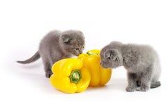 Mooie Schotse jonge katten met gele peper Stock Foto