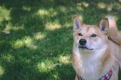 Mooie Shiba Inu royalty-vrije stock afbeelding