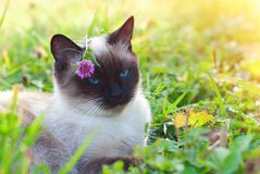 Mooie Siamese Rasechte Kat met Blauwe Ogen stock afbeeldingen