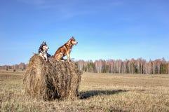 Mooie Siberische schor bij het lopen in zonnige dag De schor honden zitten op stapel droog hooi en zien rond eruit Landschap Copy Stock Foto's