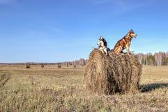 Mooie Siberische schor bij het lopen in zonnige dag De schor honden zitten op stapel droog hooi en zien rond eruit De ruimte van  Stock Afbeelding