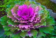 Mooie sierkool in het landschapsontwerp Stock Fotografie