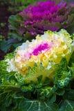Mooie sierkool in het landschapsontwerp Stock Afbeeldingen