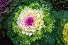 Mooie sierkool in het landschapsontwerp Royalty-vrije Stock Foto's